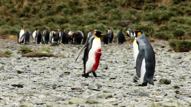 rannych pingwin królewski - pingwin filmów i materiałów b-roll