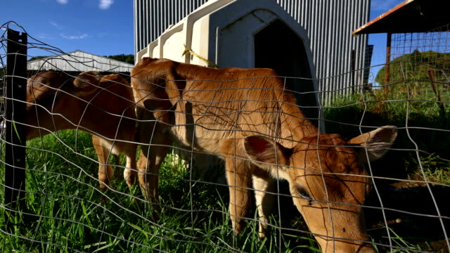 Inquisitive Calf video