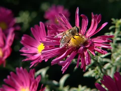 insetto raccogliendo nettare dal fiore rosso anello. - pistillo video stock e b–roll