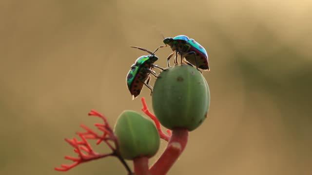 昆虫のカップル - 動物の行動点の映像素材/bロール