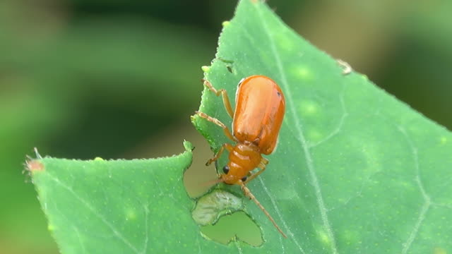 Insect eating a plant leaf