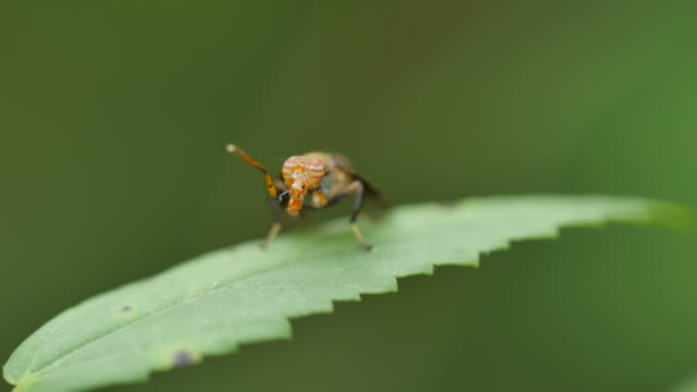 Insect grooming on green leaf. video