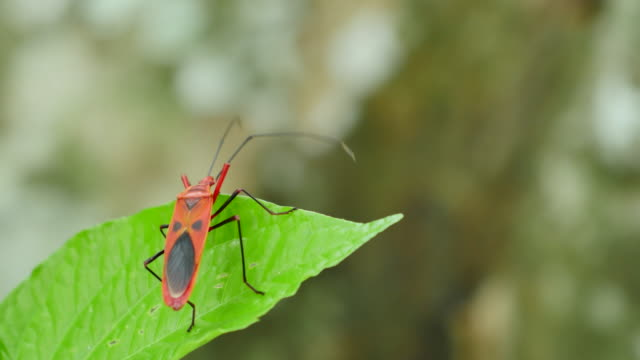 Insect on green leaf. video