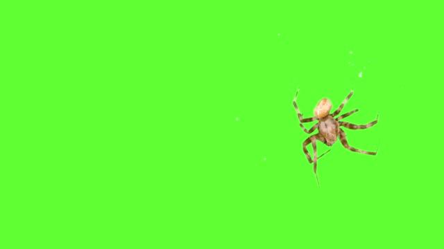 insekt spindel springer runt skärmen på en grön bakgrund. logo skärmsläckare. klicka urval och överlägg i videoredigeraren - spindel arachnid bildbanksvideor och videomaterial från bakom kulisserna