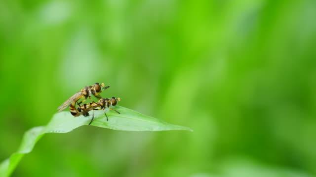 Insectes reproduction sur Feuille verte. - Vidéo