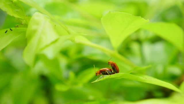 Insects breeding on green leaf. Insects breeding on green leaf. videos of dogs mating stock videos & royalty-free footage