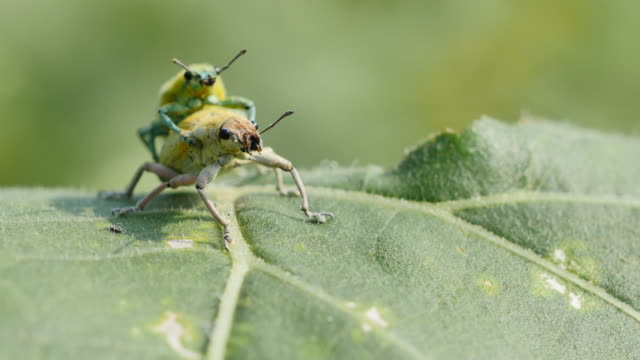 Insects matting Insects matting on green leaf. videos of dogs mating stock videos & royalty-free footage