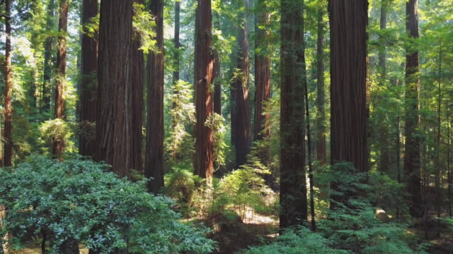 inside california redwood forest 06 - filmmusik stock-videos und b-roll-filmmaterial