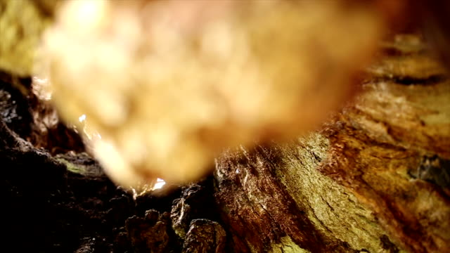 1000 年中古いオークの木 - 中林大樹点の映像素材/bロール