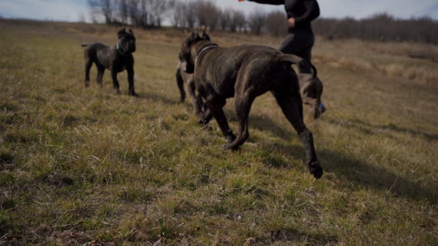 Instructor for dog behavior training breed cane corso on a meadow