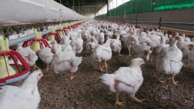 vídeos de stock, filmes e b-roll de pecuária intensiva de frango em forno casas, áfrica do sul - ave doméstica