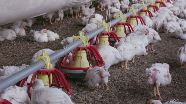 Intensive factory farming of chickens in broiler houses, South Africa Intensive factory farming of chickens in broiler houses, South Africa antibiotic stock videos & royalty-free footage