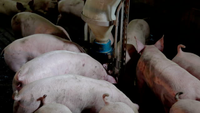 Intensively farmed pigs in batch pens video