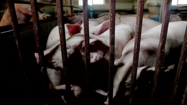 stockvideo's en b-roll-footage met intensief gekweekte varkens in batch pennen - pig farm