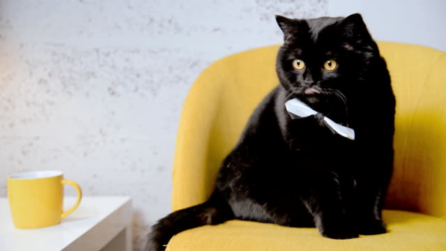 Interior. Black cat sitting on a yellow armchair video