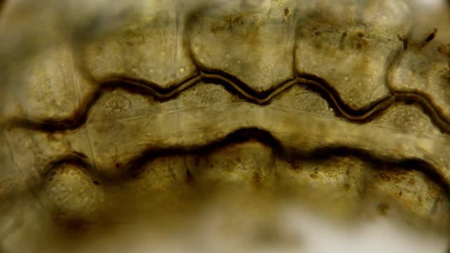 internal organs of the ephemeroptera larva under a microscope - pelo animale video stock e b–roll