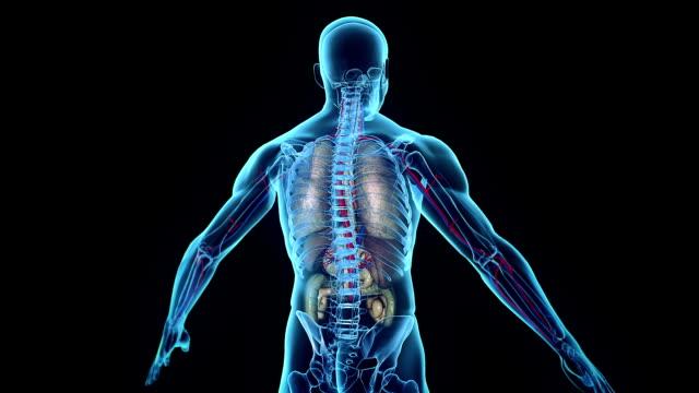 Internal Organs Human internal organs coming into place heart internal organ stock videos & royalty-free footage