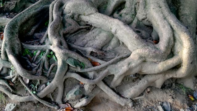 Intertwined Large And Thick Tree Roots On The Surface Of The Earth