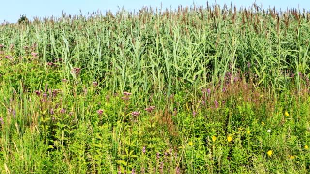vidéos et rushes de espèces envahissantes, phragmites envahissantes ou européen reed, australis australis - roseau plante herbacée
