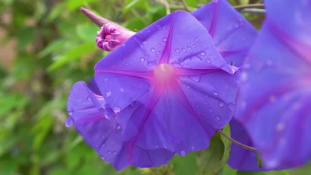 Ipomoea purpurea, flower Morning Glory