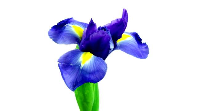 Iris Blooming video