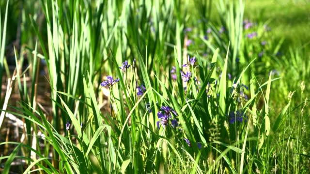 iris, iris prismatica, blommar i den lilla dammen i poconos, pennsylvania, usa. zoom effekten i videon - poconobergen bildbanksvideor och videomaterial från bakom kulisserna