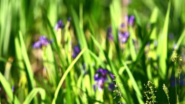 iris, iris prismatica, blommar i den lilla dammen i poconos, pennsylvania, usa. på förgrunden flyttas fokus från gräs till iris i bakgrunden. - poconobergen bildbanksvideor och videomaterial från bakom kulisserna
