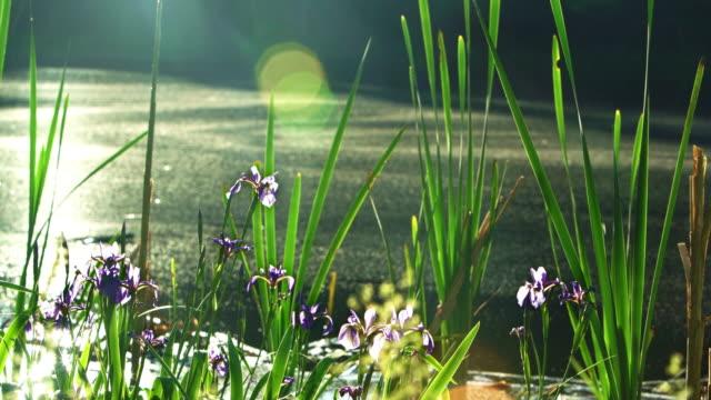 iris, iris prismatica, blommar i den lilla dammen i poconos, pennsylvania, usa - poconobergen bildbanksvideor och videomaterial från bakom kulisserna
