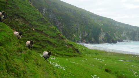 irish blackface sheep modellamento sulla scogliera del mare - costa caratteristica costiera video stock e b–roll