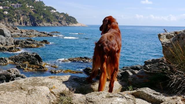 Irish Setter Dog on the coast of Llafranc Palafrugell, Spain, 4k Irish Setter Dog on the coast of Llafranc Palafrugell, Spain, 4k irish setter stock videos & royalty-free footage