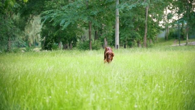 Irish setter running in the park, slow-motion