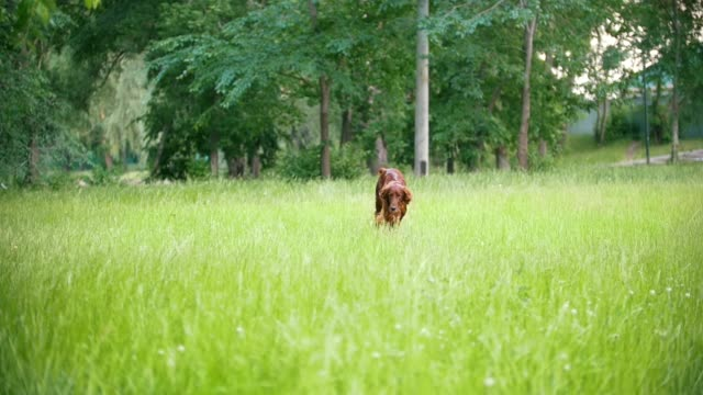 Irish setter running in the park, slow-motion Irish setter running in the park, slow-motion shot irish setter stock videos & royalty-free footage