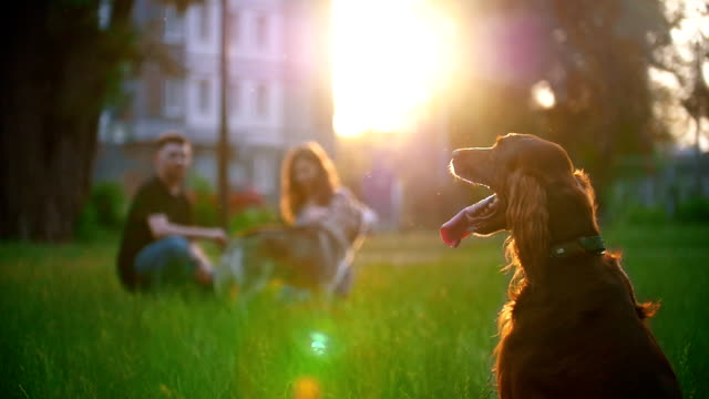 Irish setter sitting on the grass in front of couple who playing with their dog Irish setter sitting on the grass in front of couple who playing with their dog. blurred, slow motion setter dog stock videos & royalty-free footage