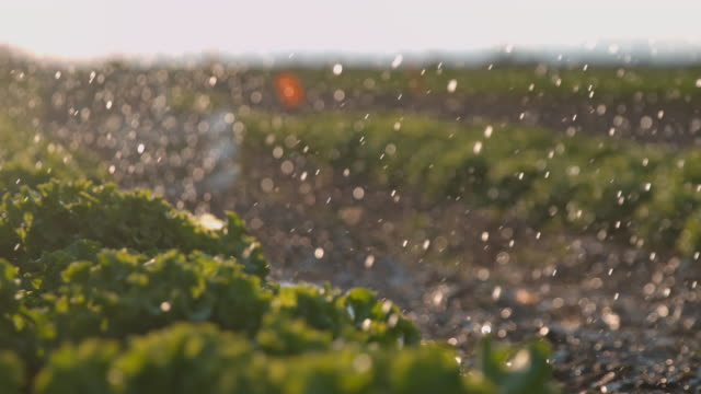 SUPER SLO MO Irrigating lettuce growing on a field Super slow motion dolly shot of raindrops falling on heads of lettuce growing on a field. crop plant stock videos & royalty-free footage