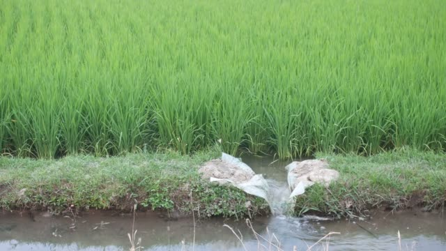 irrigation in the paddy field small irrigation canal with water flow in the green paddy field rice paddy stock videos & royalty-free footage