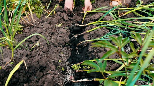 vídeos y material grabado en eventos de stock de riego de cebollas verdes en el jardín. brotes jóvenes de cebollas verdes crecen en suelo y planta las plantas de las manos de mujer - botánica