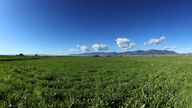 isolated cumulus clouds over green premature wheat field video