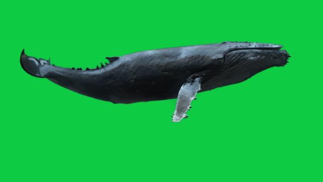 Isolated Humpback Whale swimming Loop Deep ocean