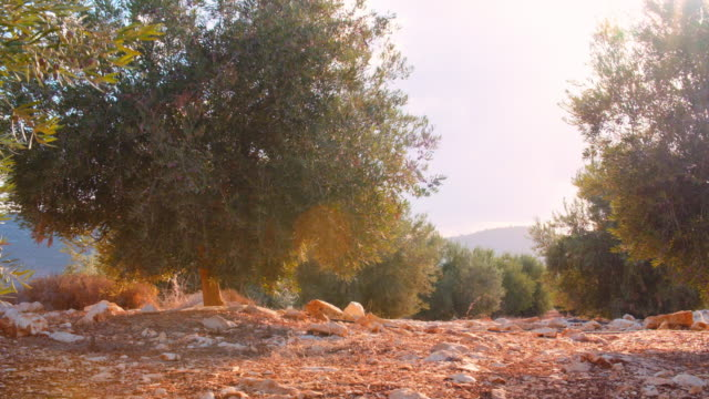Israel Olive Grove, Trees video