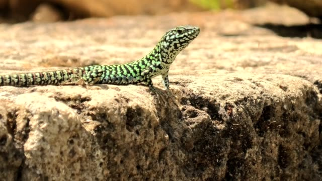 Italian wall lizard, ruin lizard, Italian wall lizard, red ruin lizard, Podarcis siculus species. Waving legs to calm on a stone in Elba Island in Italy. skink stock videos & royalty-free footage