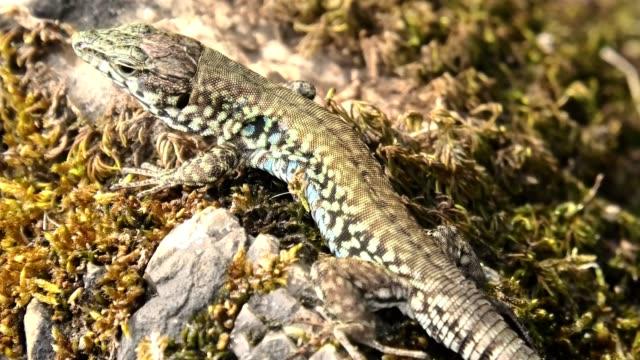 Italian wall lizard, ruin lizard, Italian wall lizard, ruin lizard, Podarcis siculus species. Resting of grass moss in Elba Island in Italy. skink stock videos & royalty-free footage