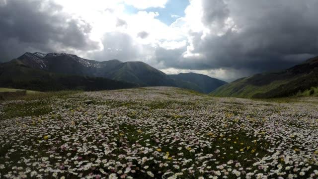 vídeos y material grabado en eventos de stock de italia, las marcas, el parque monti sibillini, margaritas, flores, en primavera en las montañas - manzanilla