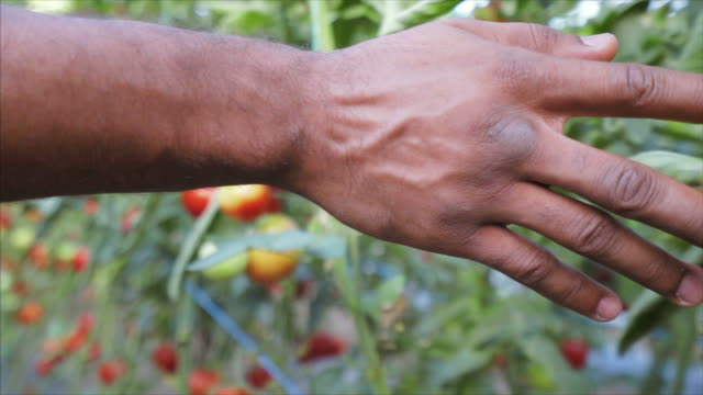 Its about the passion for organic food. Young male farmer enjoying working in his greenhouse. He is walking along the greenhouse and touching his plants and tomatoes. Slow motion scene. homegrown produce stock videos & royalty-free footage