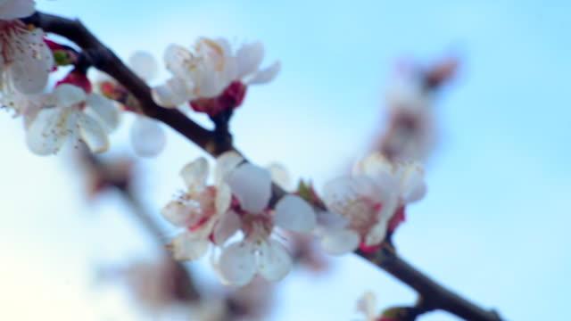 det är vår. blommande aprikosgren mot den blå himlen. abstrakt suddig bakgrund. vacker naturscen med blommande träd och sol - fruktträdgård bildbanksvideor och videomaterial från bakom kulisserna