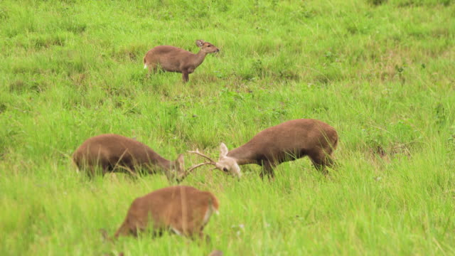 It's time to fight between male deer