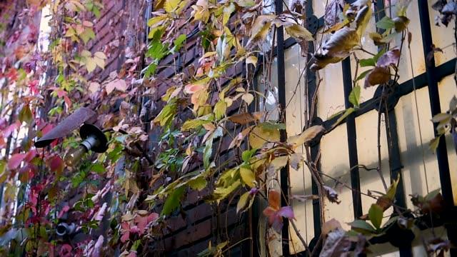 vídeos de stock e filmes b-roll de ivy growing on a old brick building in autumn season - ivy building
