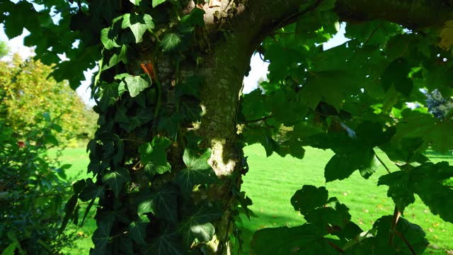 Ivy on a sycamore tree in a garden