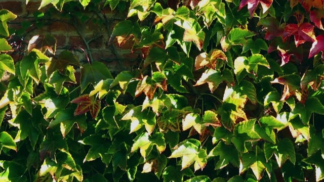 vídeos de stock e filmes b-roll de ivy on the brick wall of the house. shooting in the autumn. - ivy building