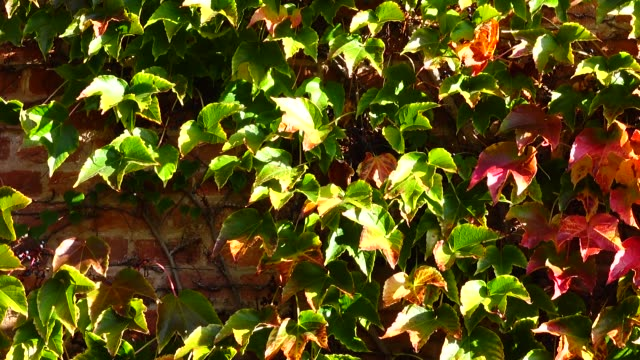 vídeos de stock e filmes b-roll de ivy on the brick wall of the house. shooting in the fall. - ivy building