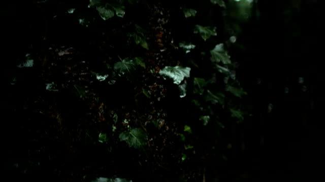 아이비 만연 식물 숲 나무 줄기에 성장 - 아이비 스톡 비디오 및 b-롤 화면